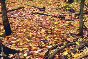 Autumn Leaves on a pond.