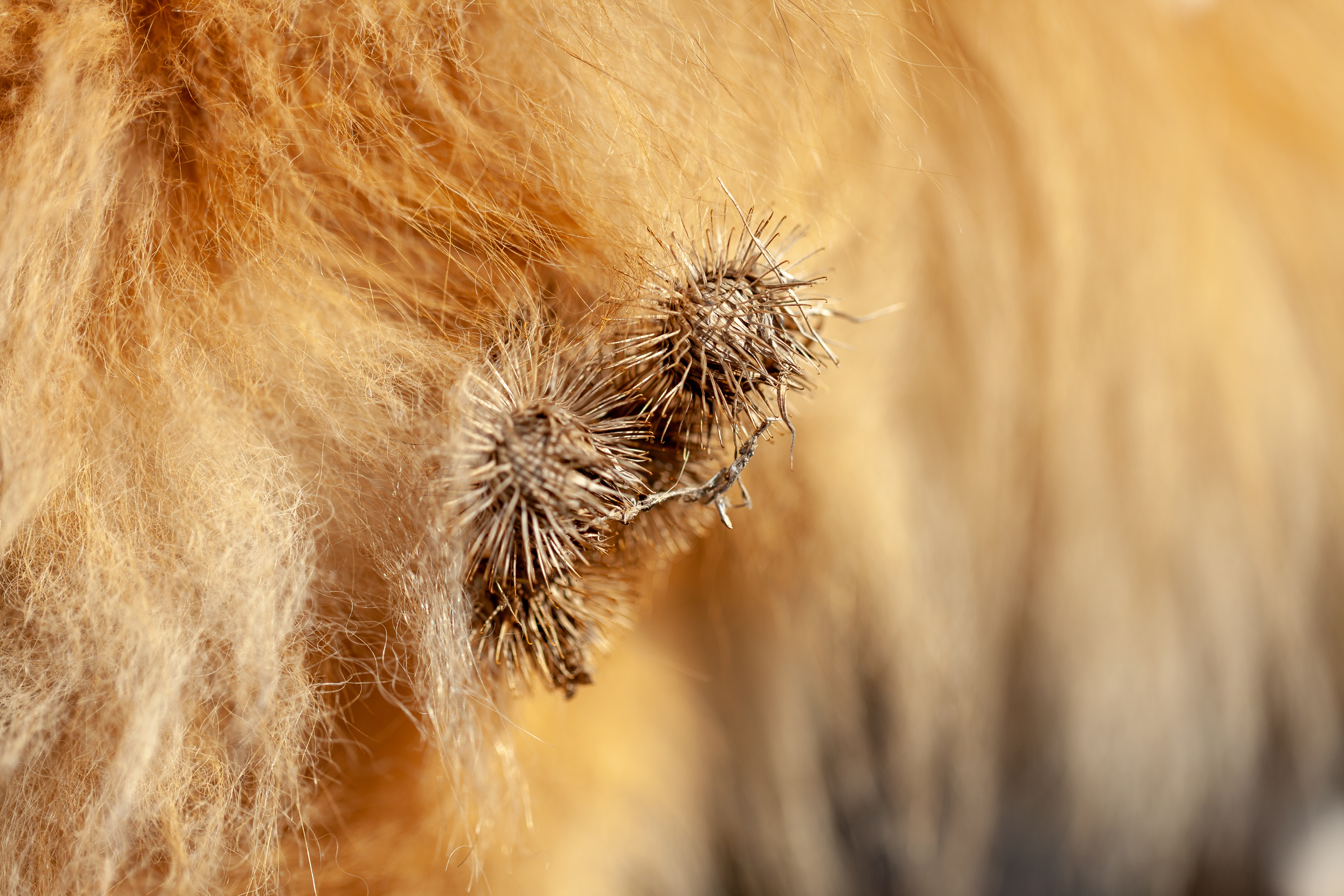 Burrs tangled in dog fur.