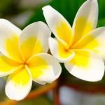 3961-fleur-de-tiare-bienfait-monoi-thaiti-beaute-reunion-974