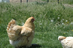 Chickens crossing the yard.